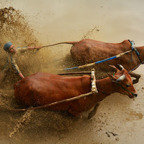 Race in the mud by MemenSaputra Mms - Sports & Fitness Other Sports ( cultural heritage, sport, cow race, travel, pacu jawi, nikon, culture, memen saputra )