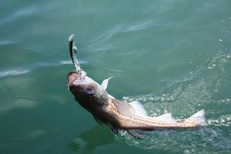 Photo: we caught a pollock, cod, kinda small so threw him back in