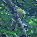 Large Green Pigeon