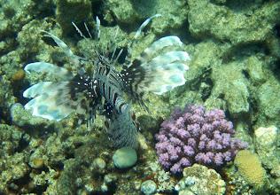 Photo: крылатка-зебра, королева рифа