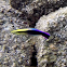 Hawaiian Cleaner Wrasse