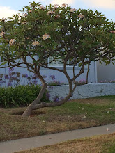 Photo: SAN DIEGO, CA Submitted by Cheryl Simmons  Tree #1: Variety: Unknown Height: 10' approx. Area: Clairemont Age: 40+ years