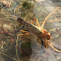 Insecto Langosta
