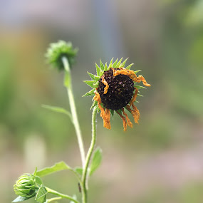 tired sun flower by Debi Henry - Animals Other ( summer, sunflower, yellow, heat, wilted )