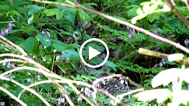 Video: A Barred Owl tried unsuccessfully to catch prey on the ground. A Steller's Jay has seen it and is sending out the alarm. Note its needle sharp talons.