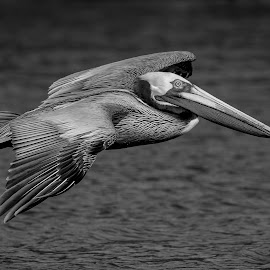 Pelican in Flight by Debbie Quick - Black & White Animals ( debbie quick, outdoors, nature, florida, bird, pelican, animal, black and white, wild, debs creative images, water, wildlife )