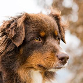 Ginger by Crazy  Photos - Animals - Dogs Portraits ( australian sheperd, herding dog, winter, pet, dog portrait, bitch, brown, dog, animal, aussie )