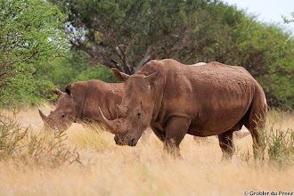 Photo: White rhino at Mokala National Park. They obviously had a mud bath!