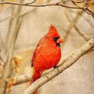 Cardinal Art NAL.jpg