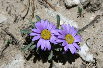 Photo: Townsendia montana (Peter Lesica)