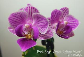 Photo: Phal. Sogo Vivien 'Golden Vivien'