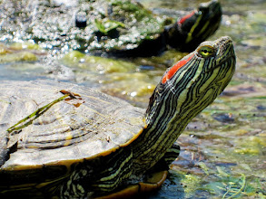 Photo: Turtle sunning itself in a pond at Cox Arboretum in Dayton, Ohio.