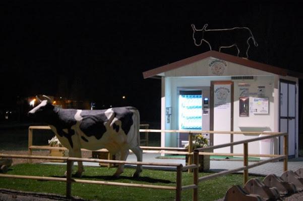 Mucche notturne di marcaval