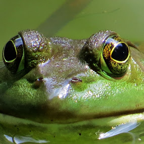 by Mike Dinkens - Animals Amphibians (  )