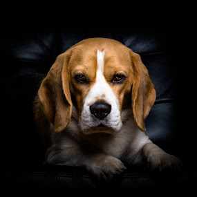 The Dogfather by Sigurður Brynjarsson - Animals - Dogs Portraits ( breed, detail, single, one, cute, sofa, lovable, domesticated, side, beagle, canidae, leather, black, closeup, animal, profile, look, white, mammal, portrait, canine, pet, dogfather, hound, adorable, view, dog, tan, strange, weird, cat, wild, pwc84 )