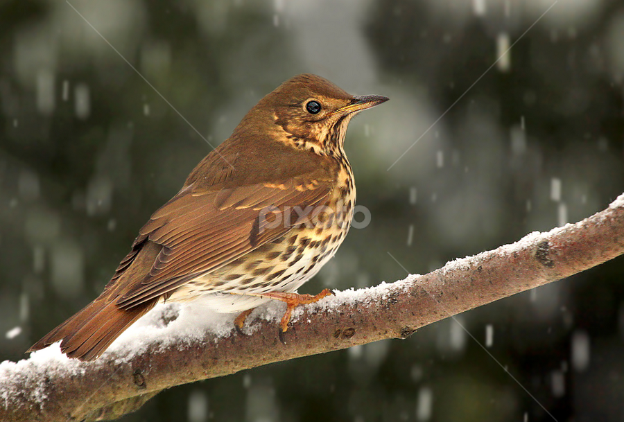 Thrush In Snow by Michael Boyle - Animals Birds
