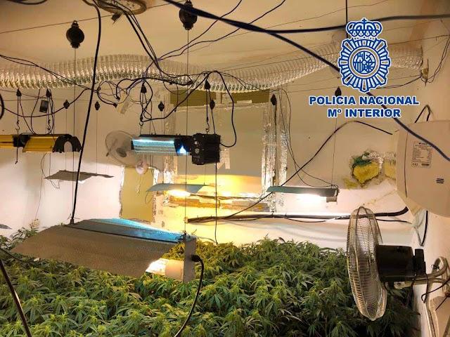 Una de las muchas plantaciones de marihuana intervenidas por la Policía.