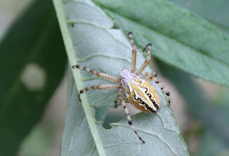 Photo: Aculepeira armida  ARACHNIDA > Araneae > Araneidae