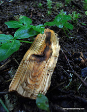 Photo: Small chunk of wood displaying a beetle gallery