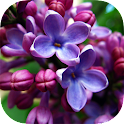 Lilac Flowers Live Wallpaper icon