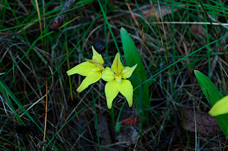 Photo: Caladenia flava; also known as the Cowslip Orchid