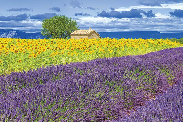See the lavender fields of Provence on this cruise through the French countryside.