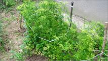 Photo: Patranjel (Petroselinum crispum) - de pe str. Rapsodiei - (2014.06.23) Album div: http://ana-maria-catalina.blogspot.ro/2017/05/plante-diverse-din-comert.html