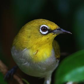 Oriental white eye by Nelson Thekkel - Animals Birds (  )