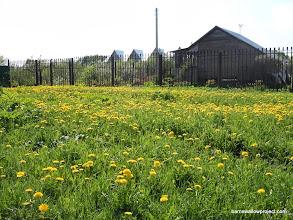 Photo: Dandelions galore!