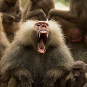 Count my teeth if you dare!! by Saranya Sulo - Animals Other Mammals ( baboon, singapore, saranya )