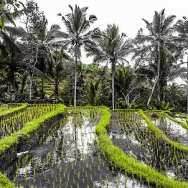 Rice terrace bali by Yudya Daton - Nature Up Close Water ( bali )