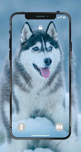 Wallpapers HD ♥ 4K Husky Pup