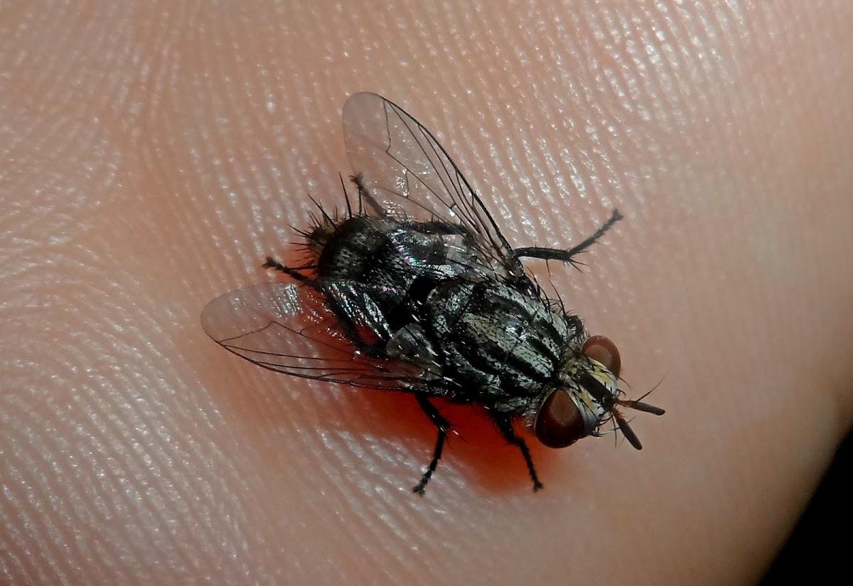 Fly parasitoid