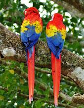 Photo: Ein schöner Rücken kann auch entzücken: Hellrote Aras, auch Arakanga genannt (Ara macao, Scarlet Macaw)