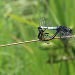 Dragon flies making love by Raj Tandukar - Animals Insects & Spiders ( dragon fly, dragon, dragon fly mating, mating )