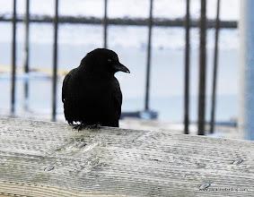 Photo: Northwestern Crow, Homer harbor