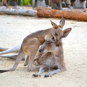Everything will be ok.  by Benjamin Salazar - Animals Other ( joey, kangaroo, mother, australia, son,  )