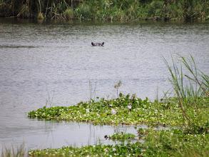 Photo: Hippos!