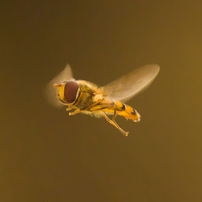 by Peter Louer - Animals Insects & Spiders ( nature, hover fly )