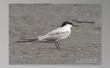 Photo: アジサシ チドリ目 カモメ科   ( Common Tern )