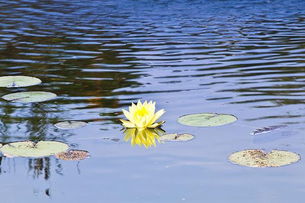 water lilies  di giorgio_travisi