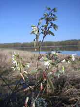 Photo: Shadbush (Amelanchier sp.) 5.6