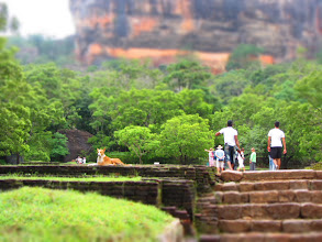 Photo: Puppy surveying his kingdom at Sigiriya.