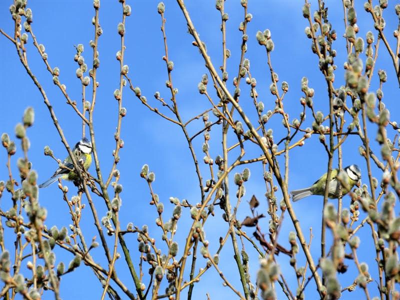 2019-02-26 LüchowSss Blaumeisen (Cyanistes caeruleus) in Grauweiden (Salix cinerea)
