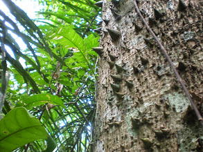 Photo: Soft bark and wood caused this type of tree to develop a different kind of defense against would be predators.