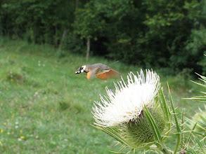 Photo: Macroglossum stellatarum    Lepidoptera > Sphingidae