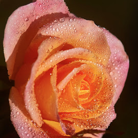 0 Rose 9765 by Raphael RaCcoon - Flowers Single Flower