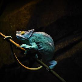 Pardon's Chameleon by Tseng Wen Choo - Animals Reptiles ( colour, chameleon, animal, zoo, lizard,  )