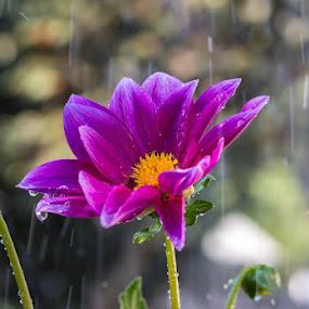Flower in Sun Shower by Greg Bracco - Flowers Single Flower (  )