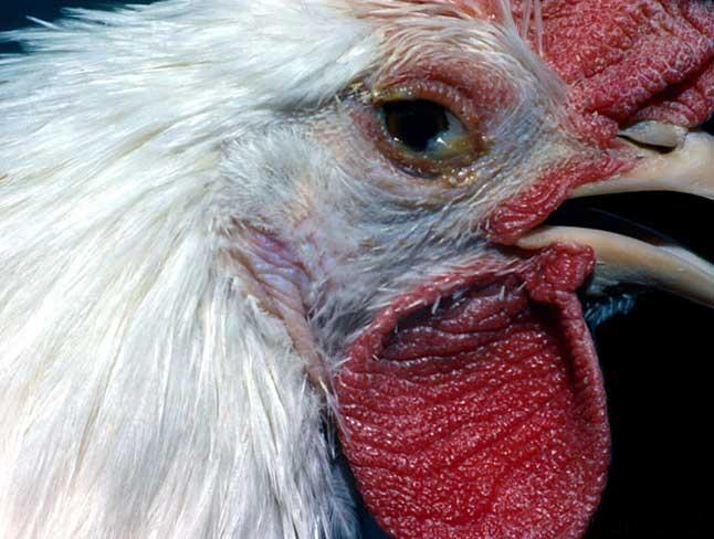 Nguyên nhân bệnh crd ở gà